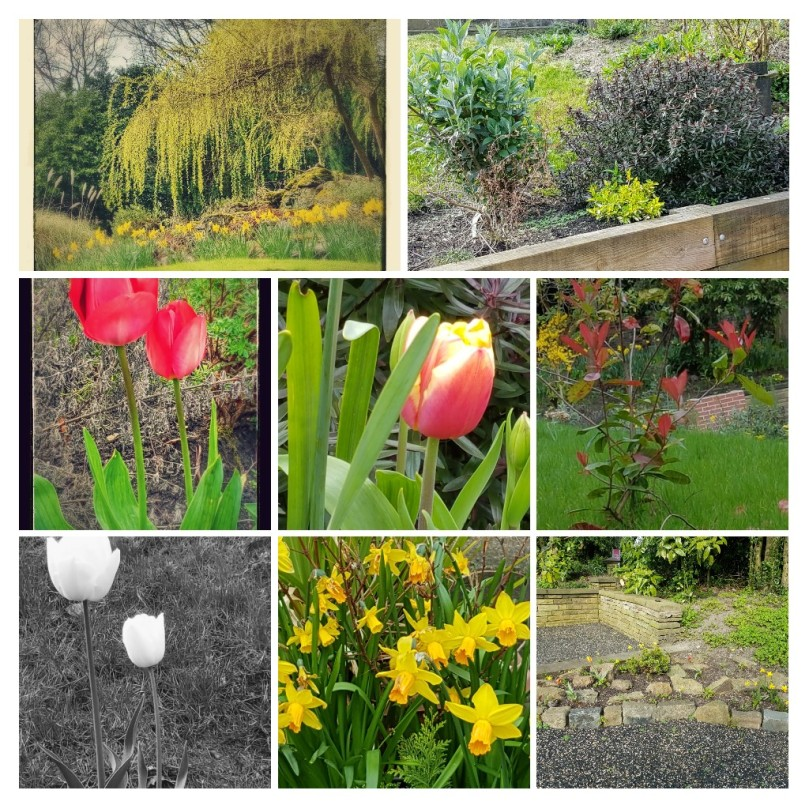 from top, left-right (1) the only photo from back garden is a weeping willow shades rows of daffodils in full bloom (2) shrubbery (3) two red-orange tulips (4) orange-red crocus with a yellow centre, (5) a red shrub whose name I've forgotten (6) B&W photo of 2 white tulips (7) daffodils in full bloom (8) one of the small rockeries.